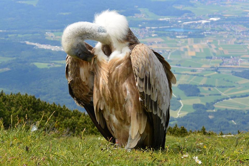 Vulture, Bird, Aas Face, Salzburg, Austria, Unterberg