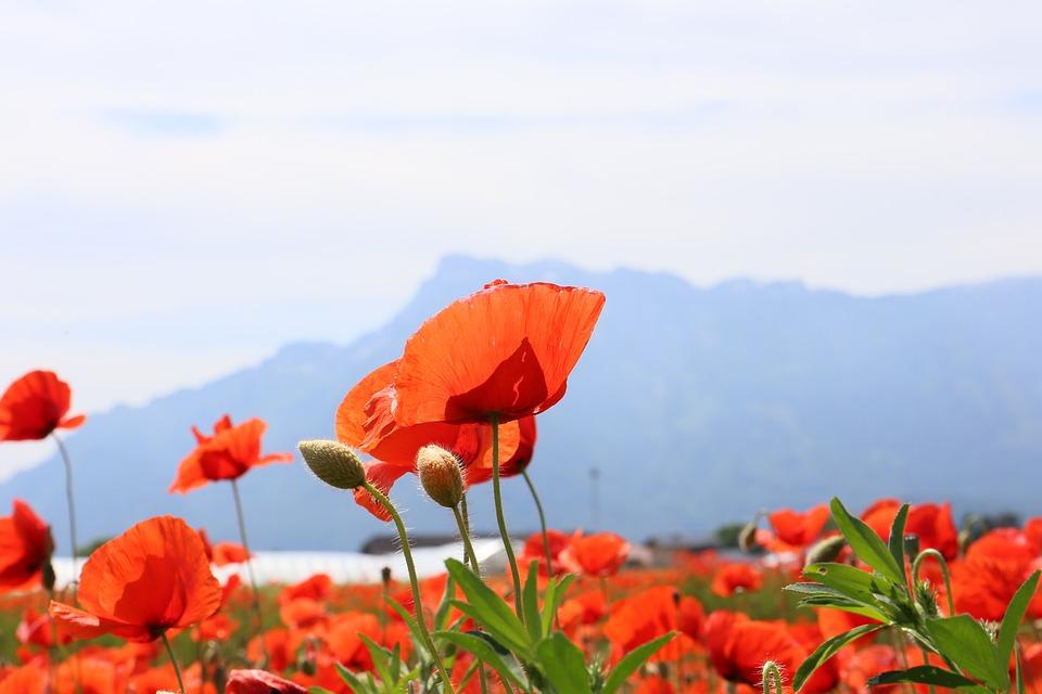 Poppy, Unterberg, Austria