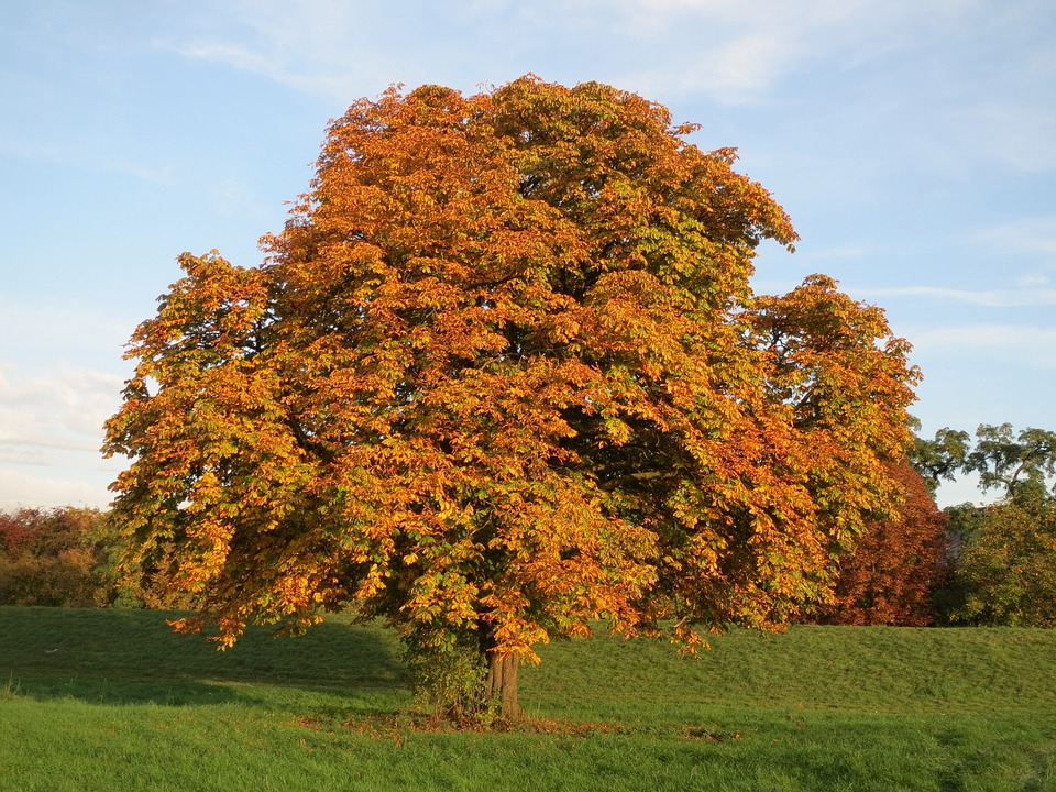 Free photo Autumn Aesculus Horse Chestnut Tree Orange Fall Max Pixel