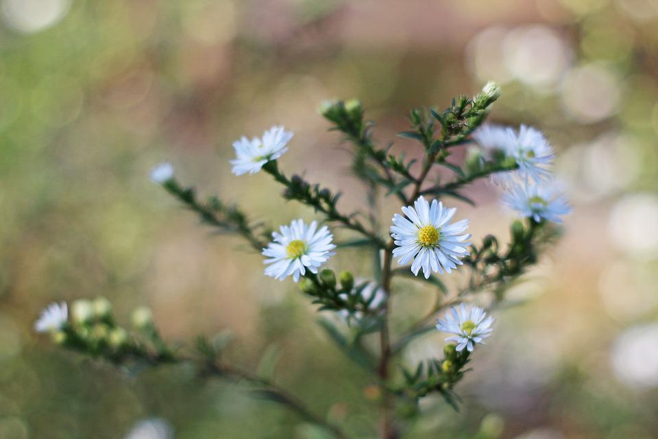 Aster, Autumn Flower, Autumn, Bloom, Nature, Blossom