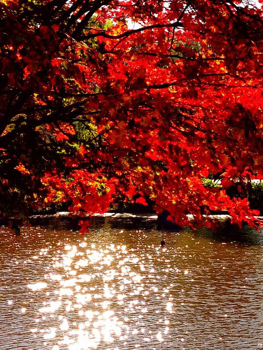 Autumn, Maple, Autumnal Leaves, Natural, Red, Landscape