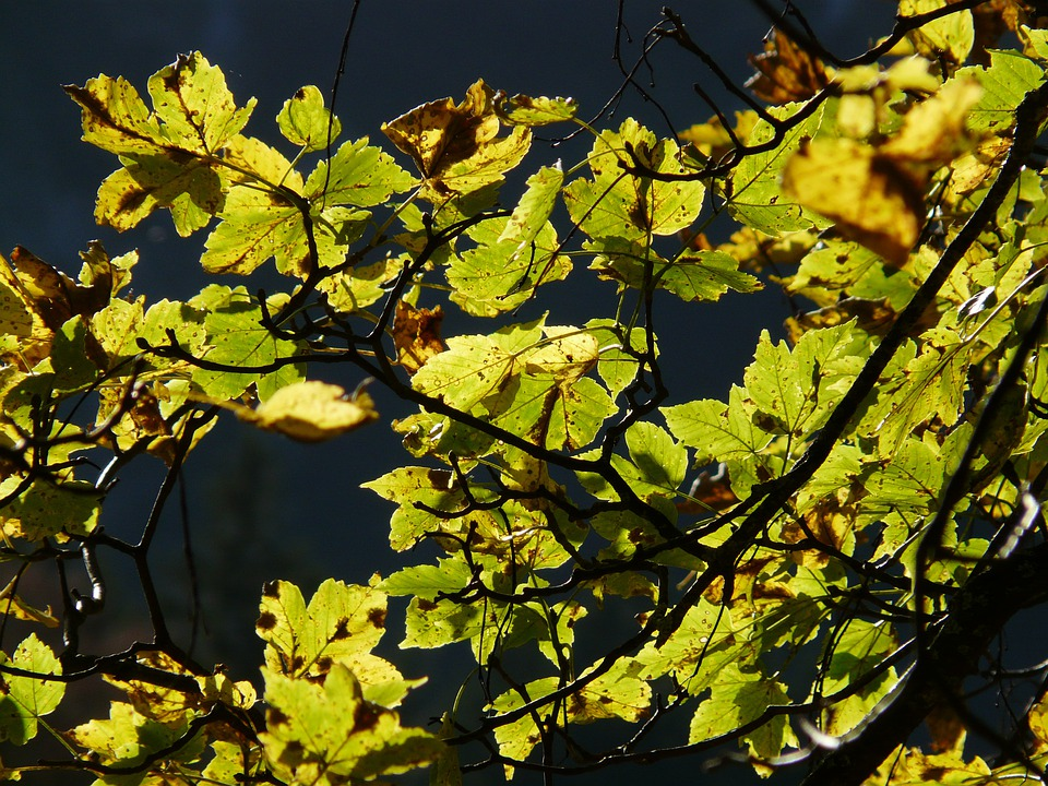 Mountain Maple, Autumn, Back Light, Acer Pseudoplatanus