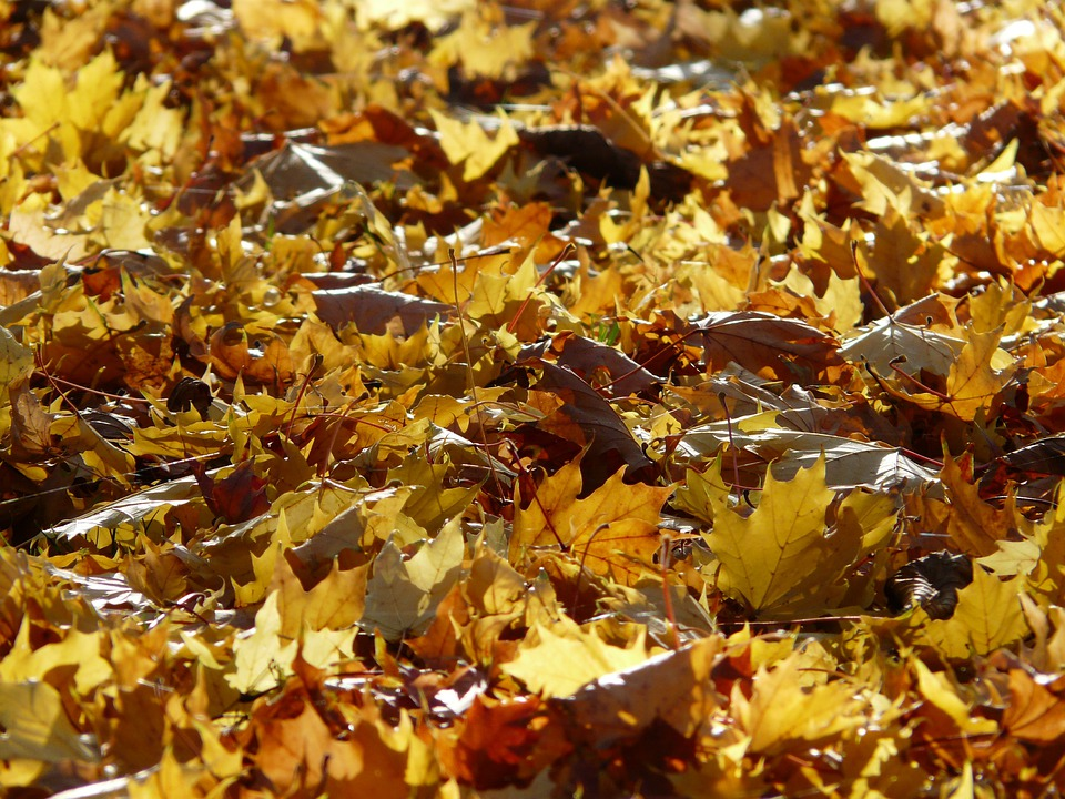 Fall Foliage, Backlighting, Leaves, Autumn