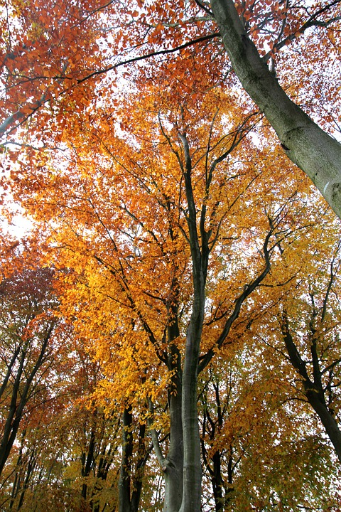 Beech Tree, Autumn Color, Forest, Leaves, Autumn