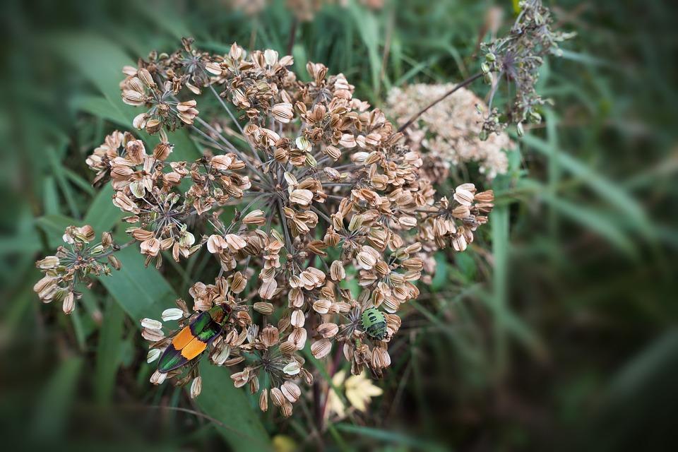 Umbel, Seeds, Autumn, Beetle, Reed