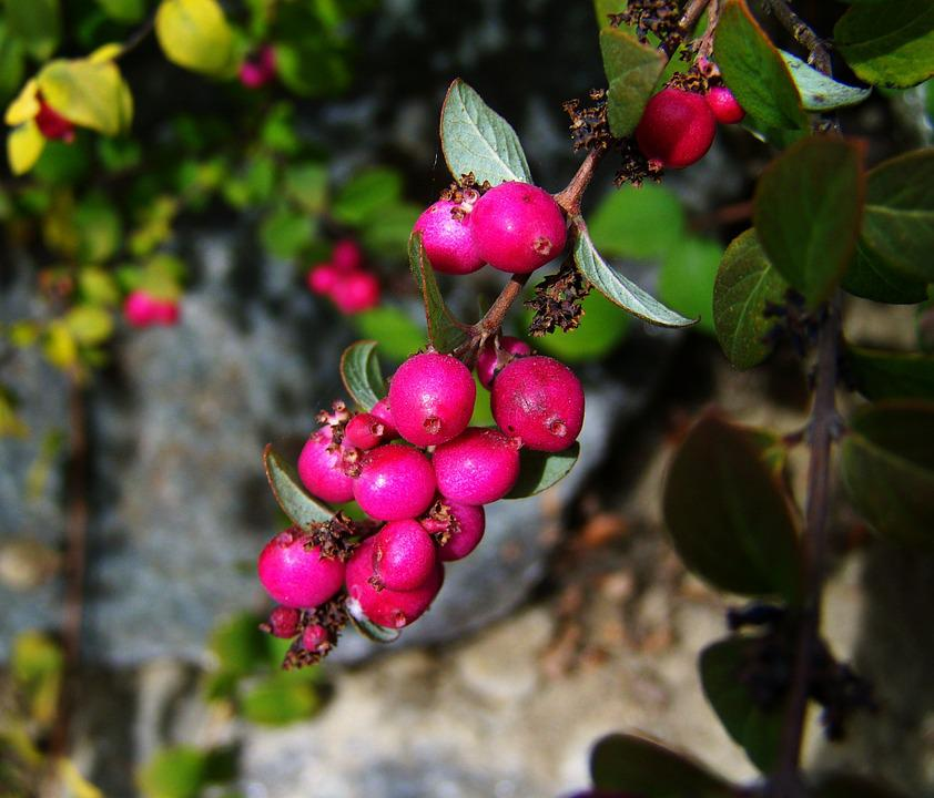 Autumn Berries And Crop, Pink Berries, Nature