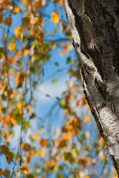 Autumn, Tree, Birch, Fall Foliage, Sky, Blue, Leaf