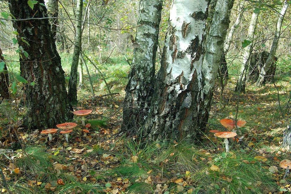 Mushrooms, Amanita Muscaria, Birch Forest, Autumn