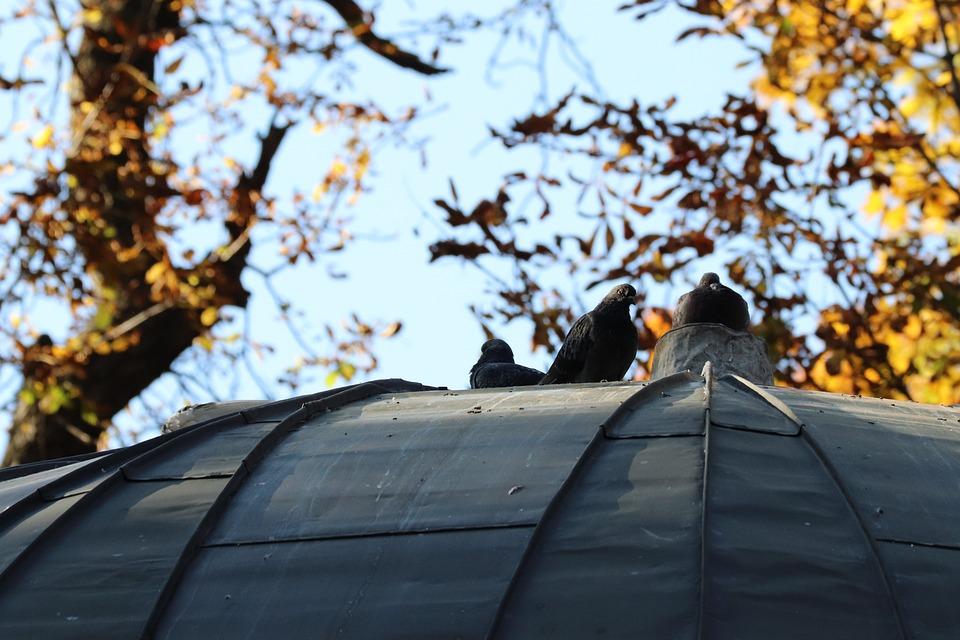 Dove, Bird, Pigeon, Autumn, Wings, Flying, Symbol