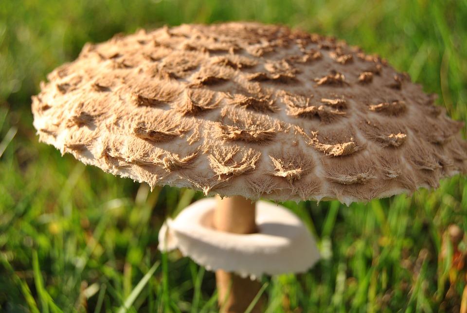 Mushroom, Black Forest, Autumn, Forest, Mushroom Hat