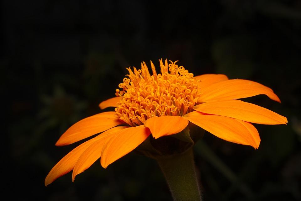 Flower, Autumn, Orange, Close Up, Blossom, Bloom