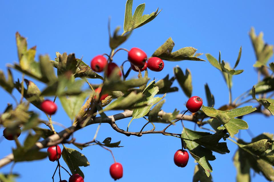 Hawthorn, Red Berries, Leaves, Green, Blue Sky, Autumn