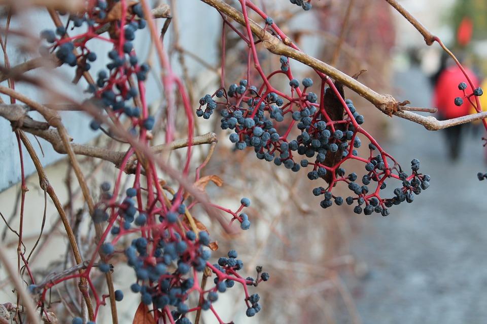 Plants, Nature, Autumn, Vine, Blueberries, Branches