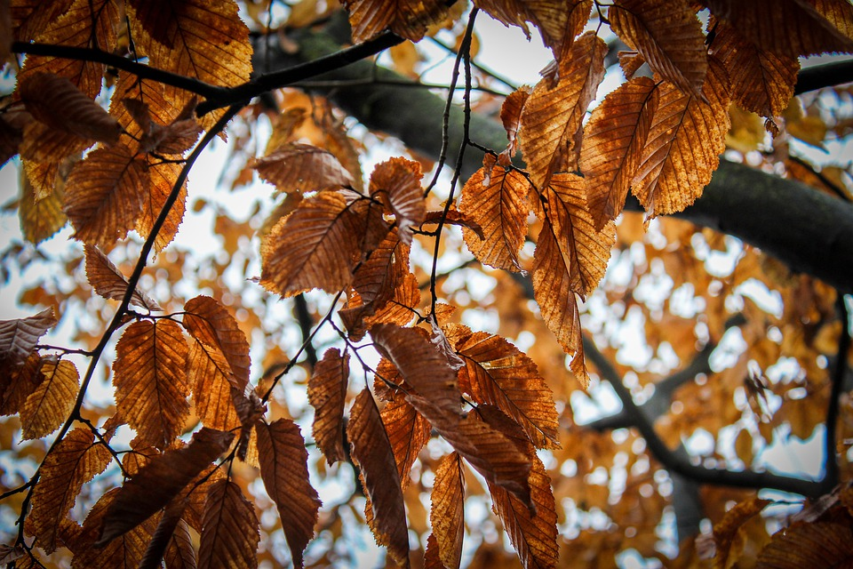 Brown, Leaves, Autumn, Leaf, Nature, Tree, Fall, Branch