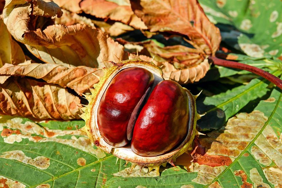 Chestnut, Autumn, Buckeye, Ordinary Rosskastanie