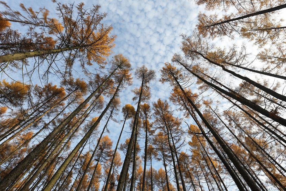 Nature, Forest, Trees, Larch, Sky, Autumn, Canopy