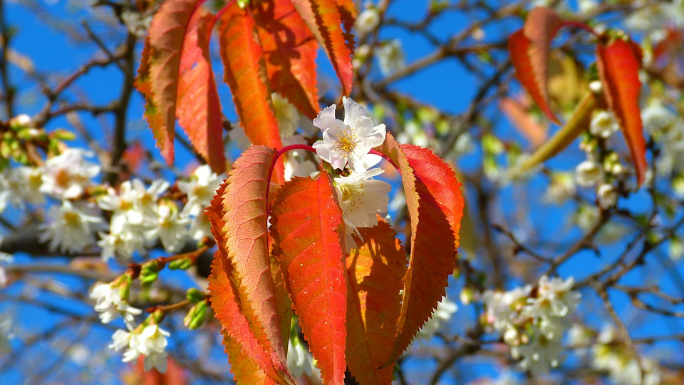 Cherry Blossoms, November, Autumn, Emerge, Exceptional