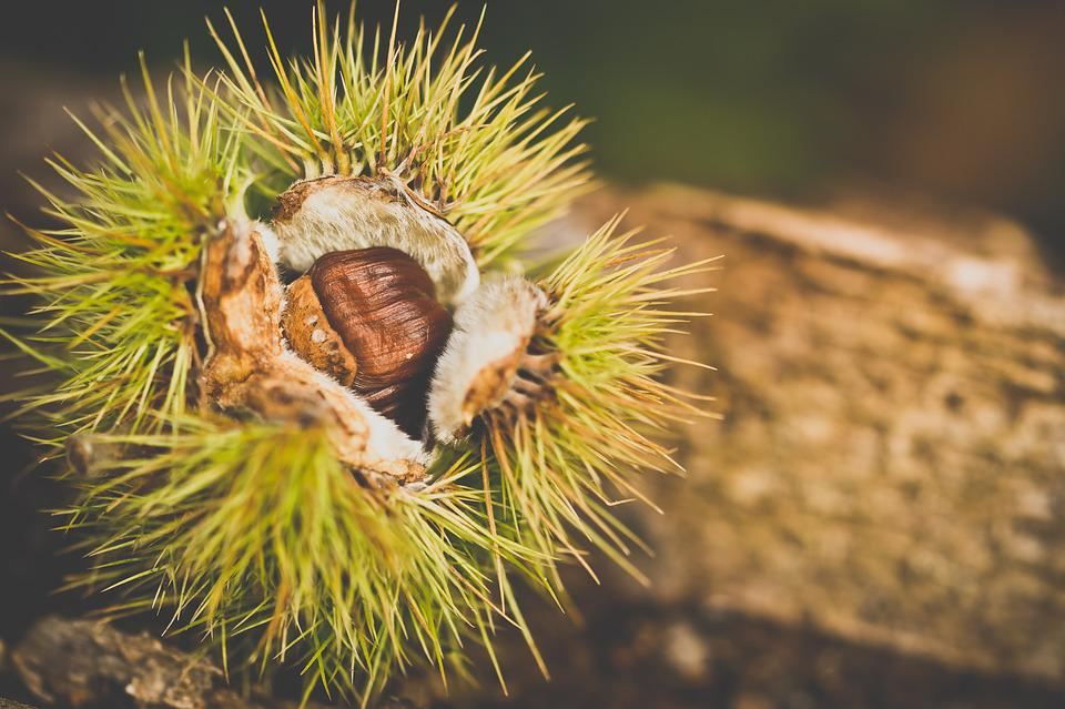 Chestnut, Autumn, Picks, Nature, Spines, Open, Macro