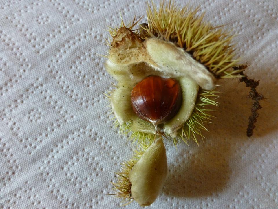 Autumn, Chestnut, Prickly, Shell