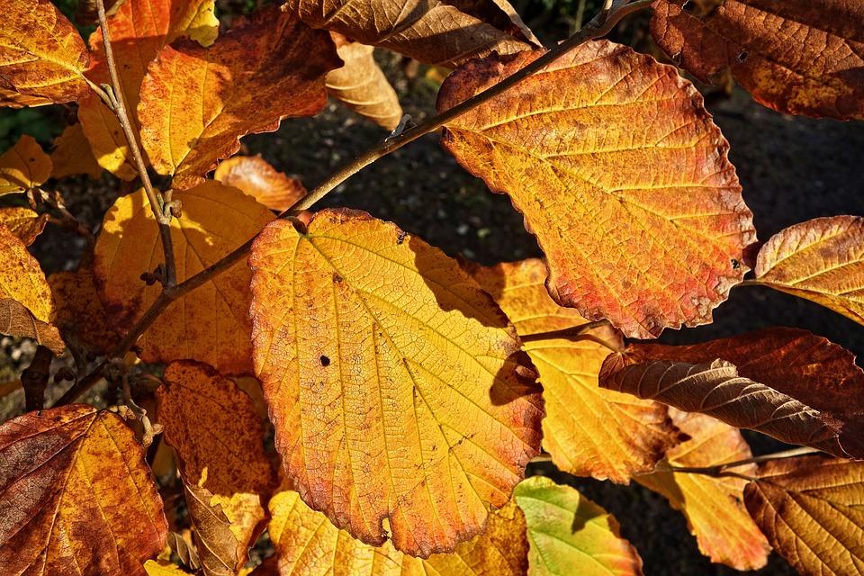 Leaf, Foliage, Autumn Leaf, Autumn Color, Golden
