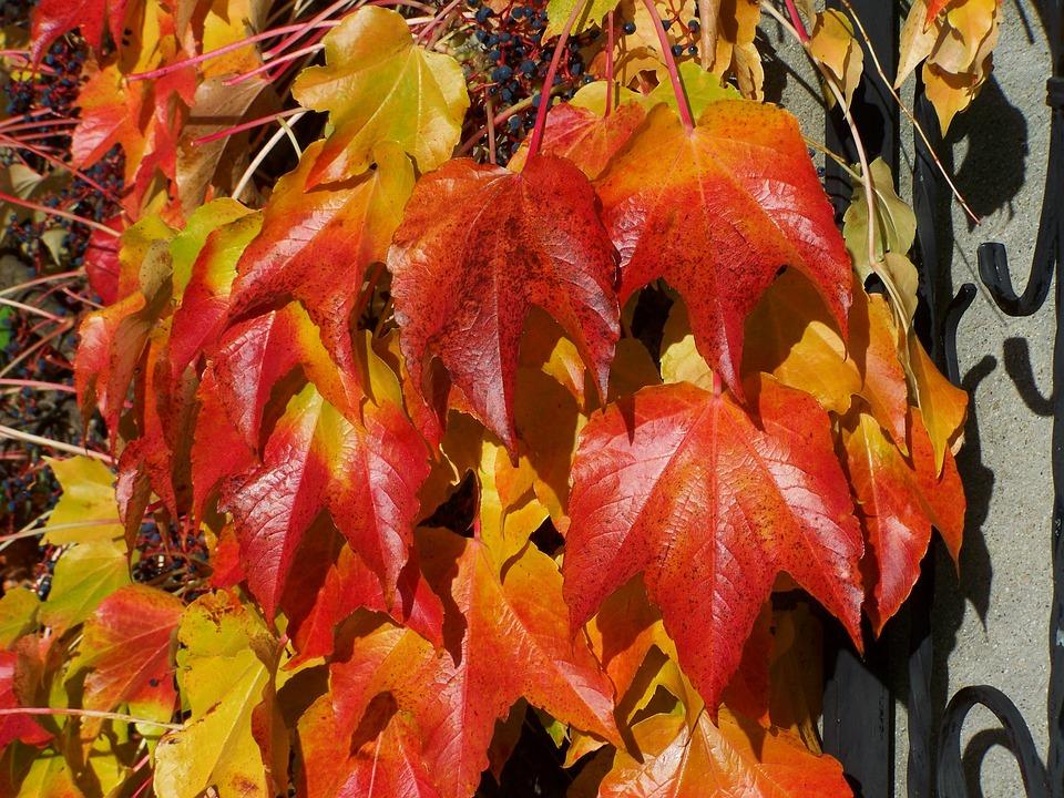 Wild Grapes, Autumn Leaves, Autumn Colors