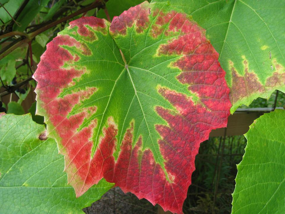 Grape Leaves, Colors, Autumn, Garden, Green, Red