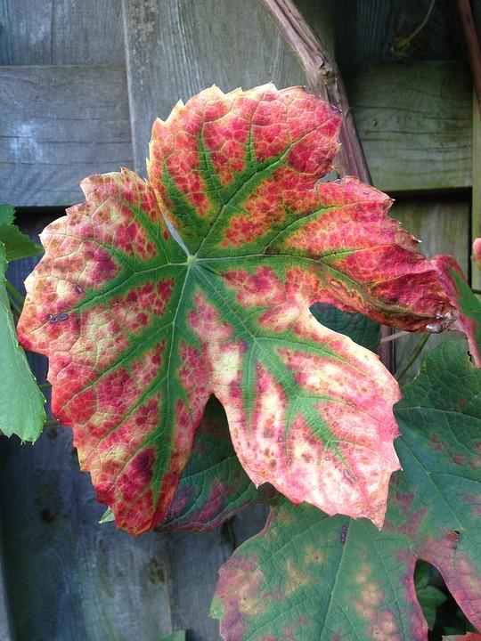 Autumn, Nature, Grape Leaf, Garden, Colors