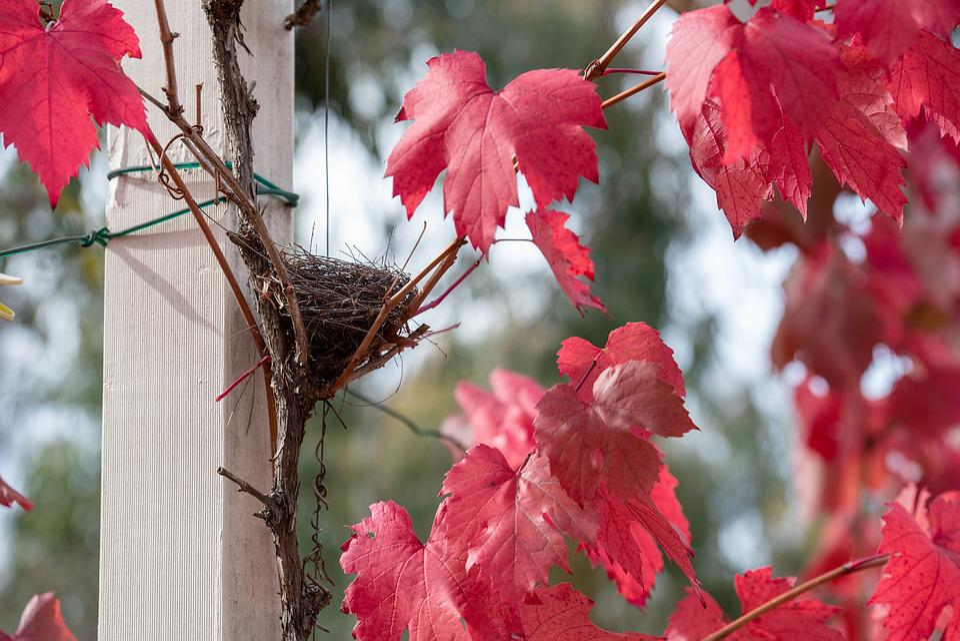Grape Vine, Vine, Leaf, Autumn Colourful, Red, Plant