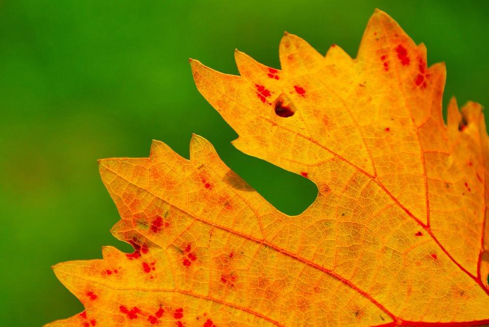 Wine, Wine Leaf, Autumn, Autumn Colours