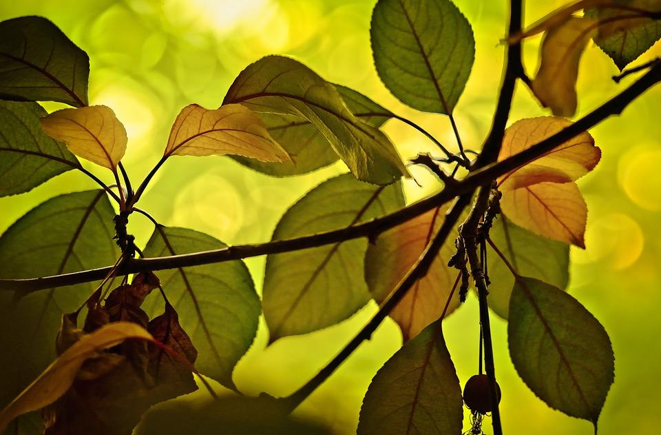 Leaves, Crabapple, Autumn, Translucent
