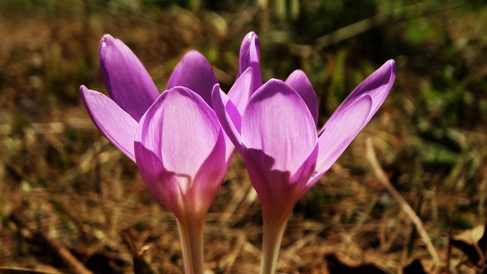 Autumn Crocus, Crocus, Flowers, Purple Flowers