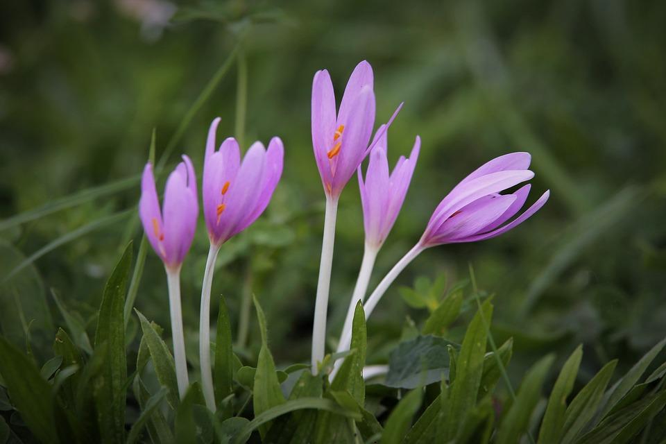 Autumn Crocus, Flowers, Grass, Meadow Saffron