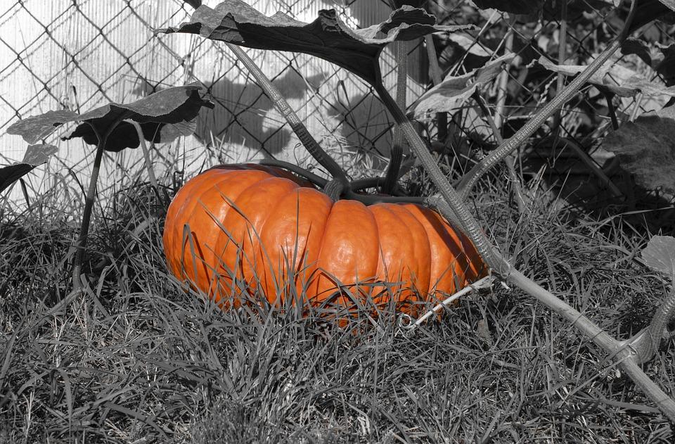 Pumpkin, Choose, Halloween, Cucurbita, Autumn