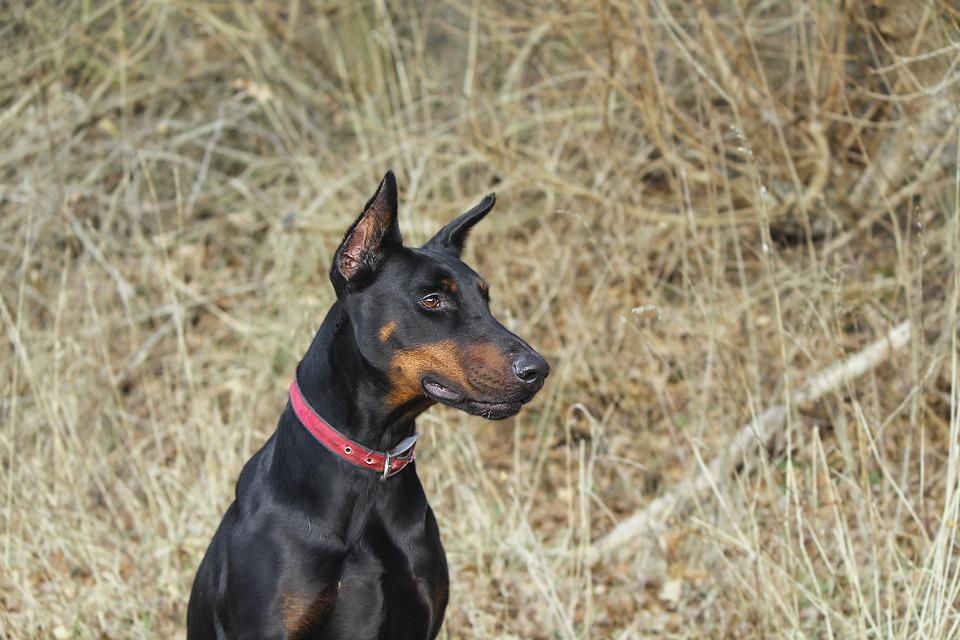 Doberman, Pinscher, Dog, Pet, Field, Meadow, Autumn