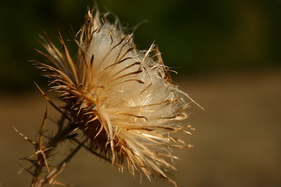 Thistle, Dry, Autumn, Spike, Fall, Wildflower, Macro
