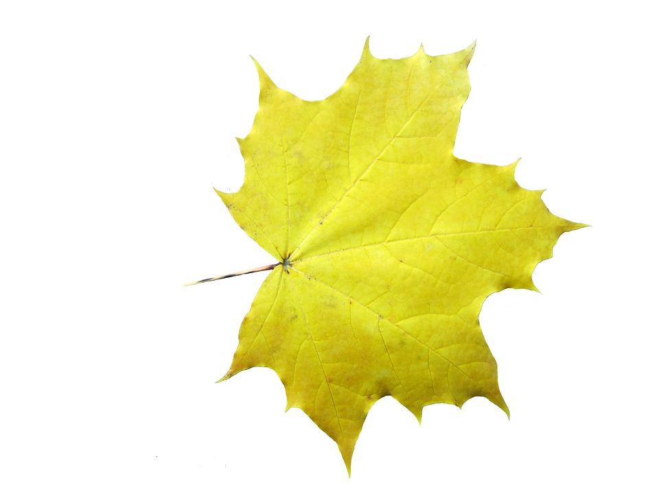 Maple, Leaves, Emerge, Autumn, Decoration