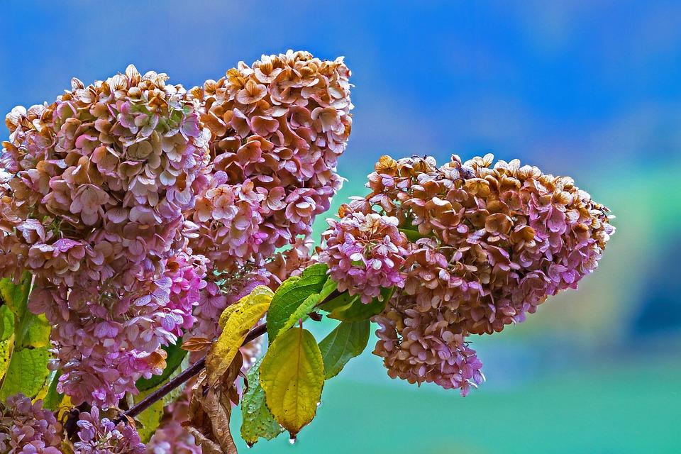 Faded, Hydrangea, Panicle Hydrangea, Autumn, Transient