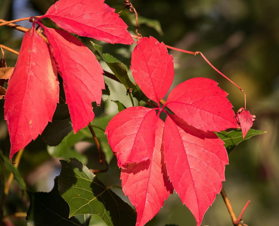 Autumn, Leaves, Red, Tree, Fall Color, Fall Foliage