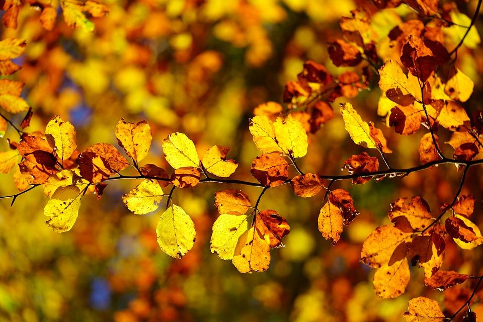 Beech Leaves, Leaves, Autumn, Fall Foliage, Beech