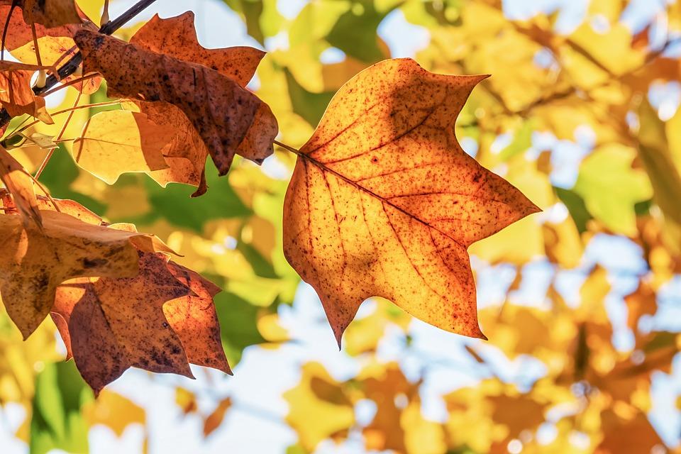 Autumn, Fall Leaves, Leaves, Fall Foliage, Yellow