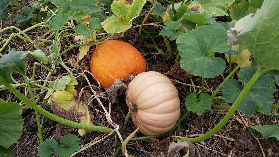 Pumpkin, Patch, Autumn, Fall, Orange, Green Leaves