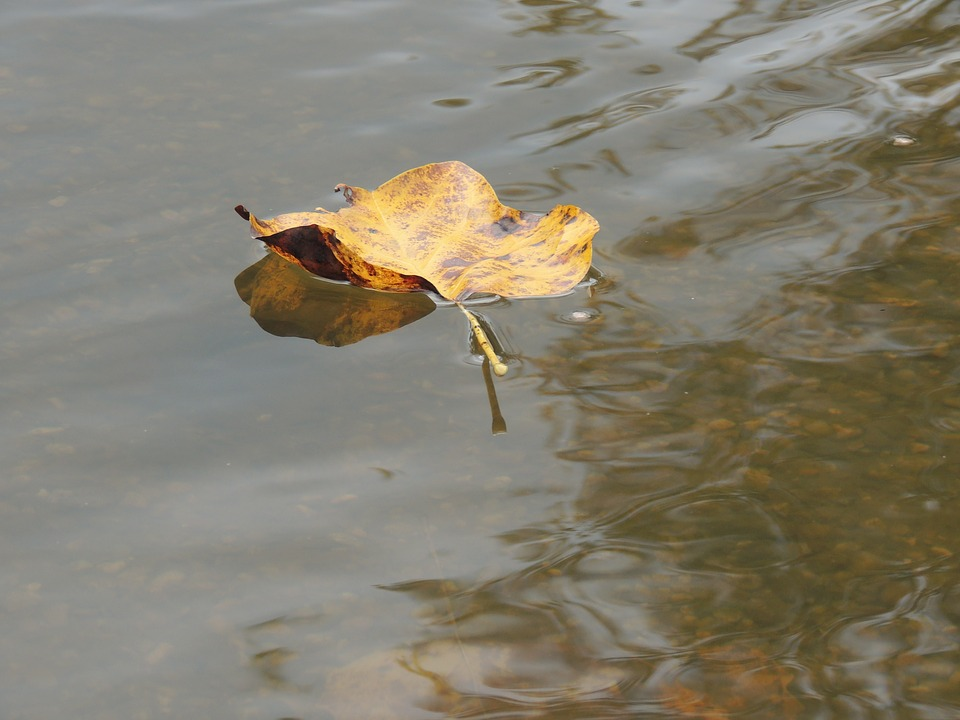 Leaf On Water, Pond, Autumn, Fall, Floating