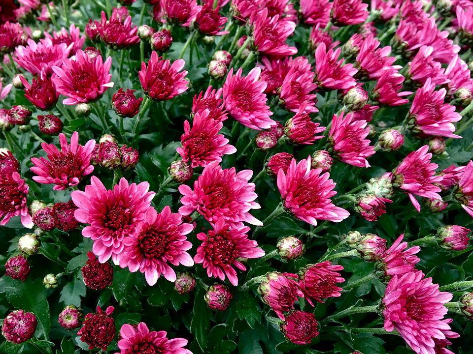 Chrysanthemum, Autumn, Flower, Blossom, Bloom, Red