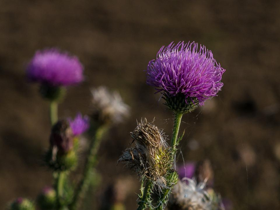 Thistle, Autumn, Flower, Wild Flower, Blossom, Bloom