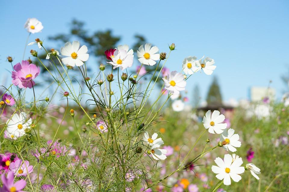 Cosmos, Flowers, Plants, White, Flower Garden, Autumn