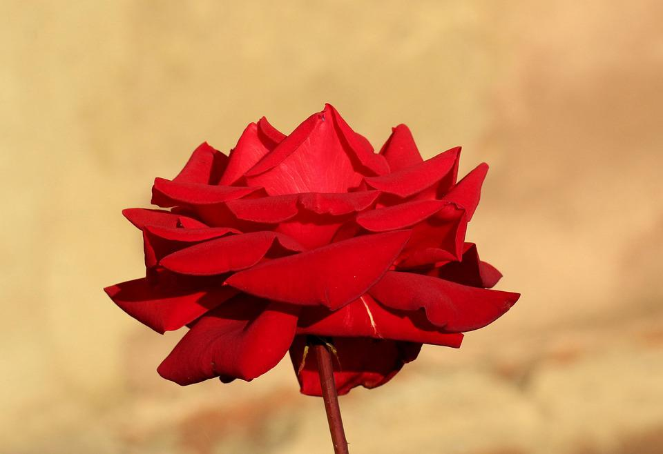 Rose, Flower, Autumn, Figure, Beauty, Love, Red, Noble
