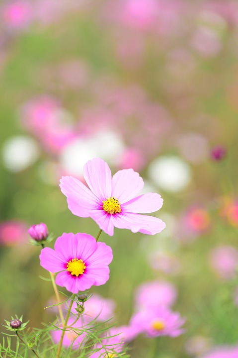 Natural, Plant, Flowers, Cosmos, Autumn Flowers, Autumn