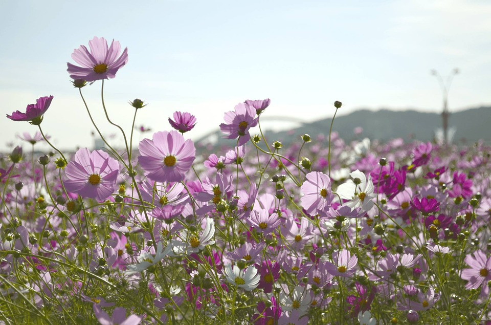 Flower Garden, Autumn, Course, Cosmos, Plants, Flowers