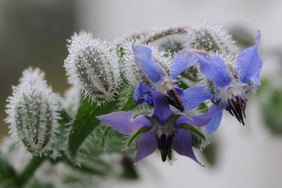 Borage, Autumn Flowers, Blue, Fog, Autumn, Dewdrop, Dew