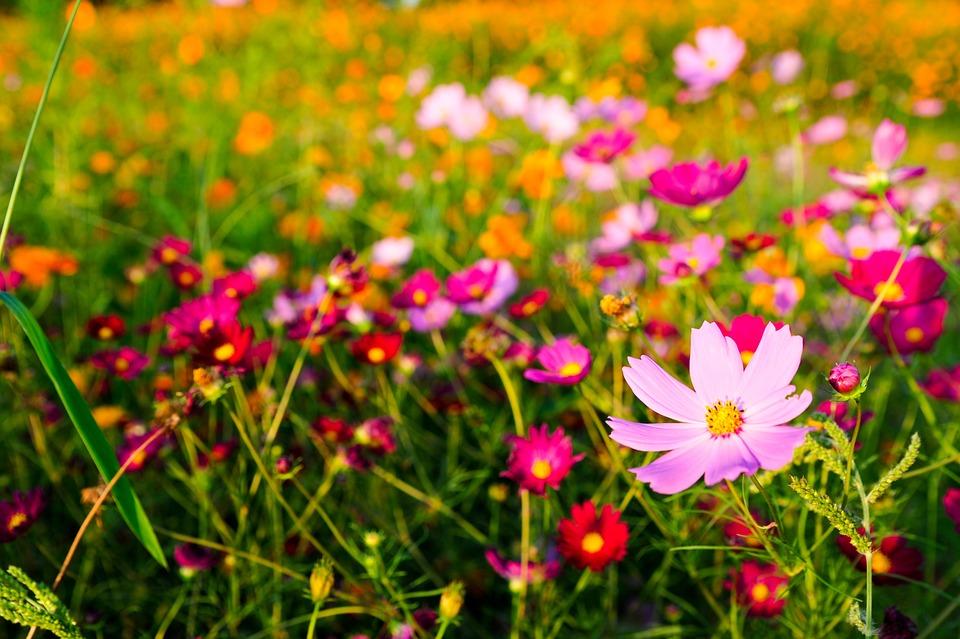 Autumn, Flowers, Cosmos, Plants, Nature, Garden